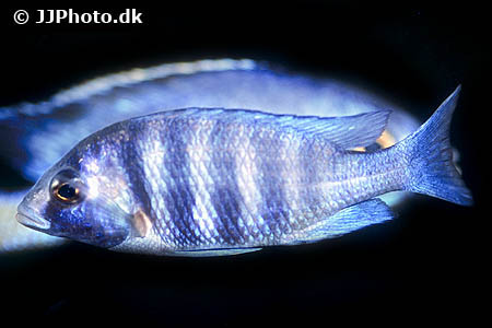 Amphiprion ocellaris 3