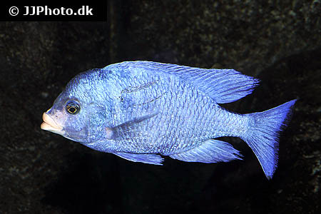 Amphiprion ocellaris 7