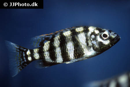 Amphiprion ocellaris 8