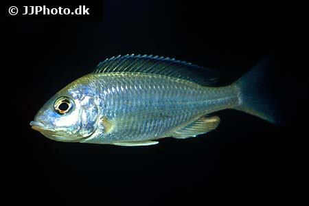 Amphiprion ocellaris 10