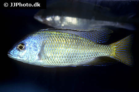 Amphiprion ocellaris 16