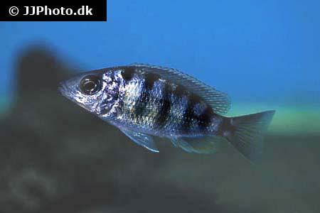 Amphiprion omanensis 2