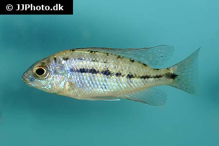 Amphiprion percula 4