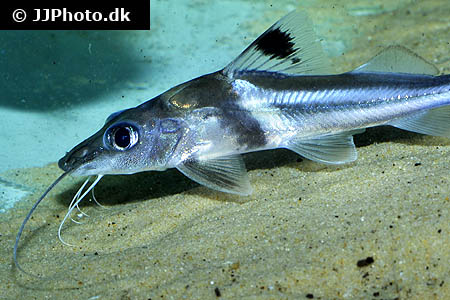 Zebrasoma scopas yellow 1