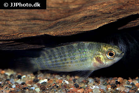 Ribes cereum - Wax currant - 01