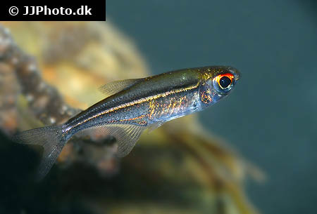 Parathelphusa pantherina - Swamp forest crab - 01