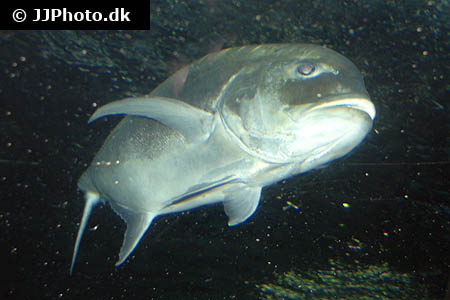 Neocaridina davidi - Orange rili shrimp - 01