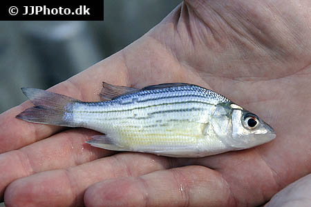 Amphiprion ocellaris 20