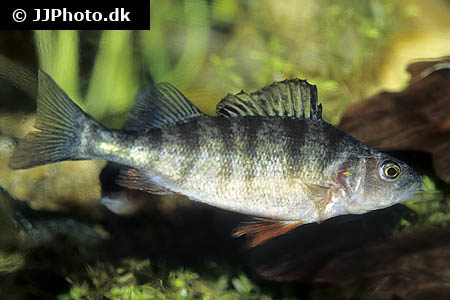Amphiprion ocellaris 22