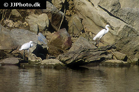 Amphiprion frenatus 7