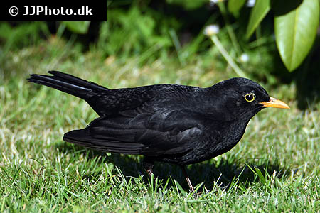 Amphiprion clarkii 6