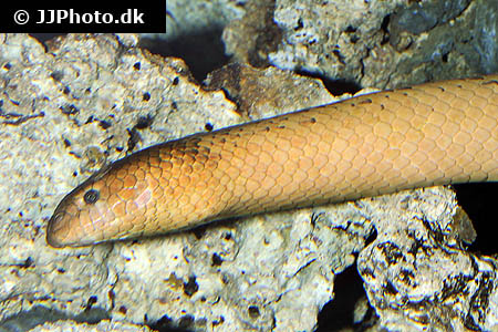 Amphiprion clarkii 8
