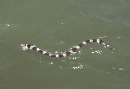 Tylomelania species - Yellow poso rabbit snail - 04