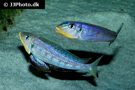 Hypostomus species l360 1