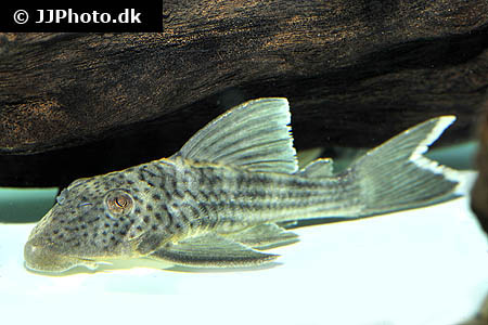 Etheostoma variatum 2