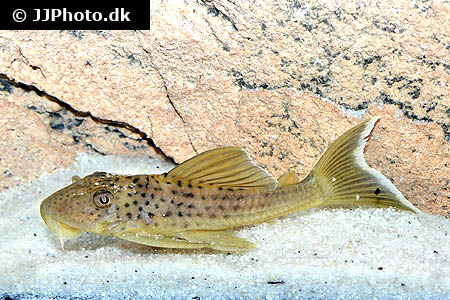 Etheostoma zonale 1