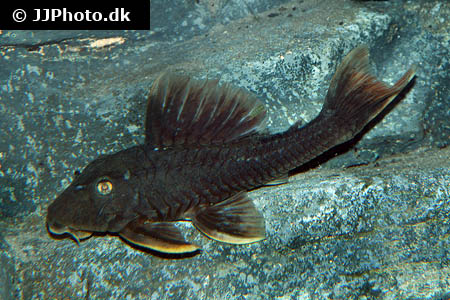 Haplochromis species orange rock hunter 1