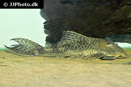 Haplochromis species orange rock hunter 3
