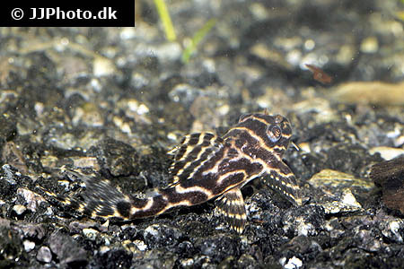 Hemichromis species guinea 1