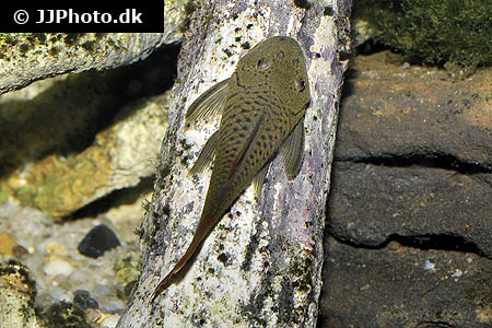 Hypostomus plecostomoides 9