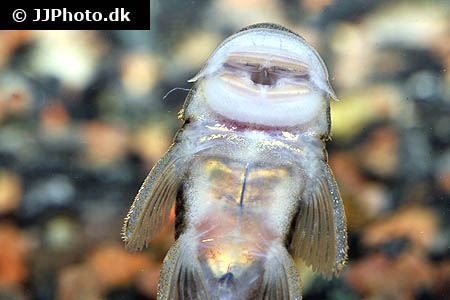 Hypostomus species l233 1