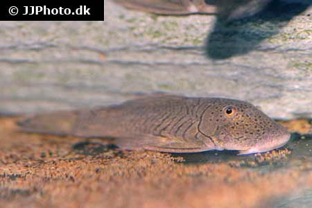 Hypostomus species l246 2