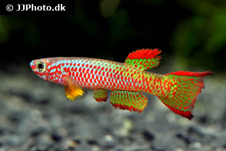 Pelvicachromis species bluefin 1