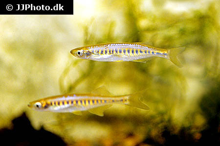 Tropheus brichardi 1