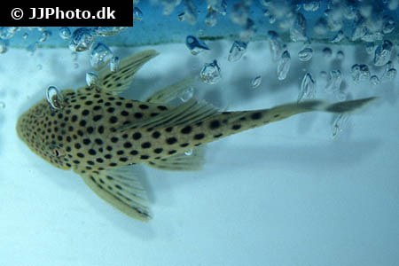 Etheostoma spectabile 1