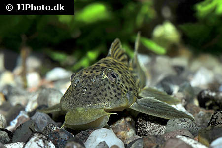 Etheostoma variatum 3